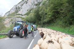 Les bétaillères remontent chercher des vaches.