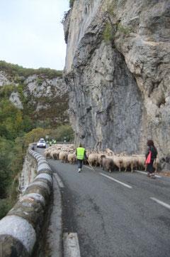 Le troupeau se faufile à travers la Pène d'Aret