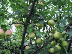 свои яблочки самые вкусные!
