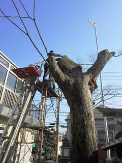樹幹上部に防虫網の取付