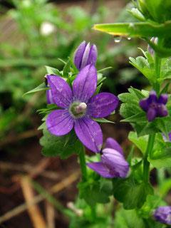 キキョウソウ  北米原産の帰化植物
