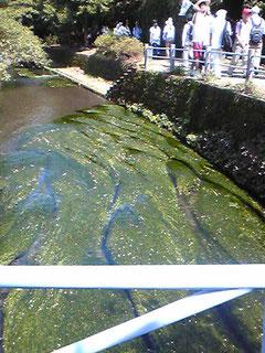 三島梅花藻とその花。景観賞になった場所。
