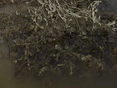 """Attroupement de crabes """"enragés"""" en Baie de Somme"""