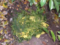 Ein Loch in der Erde, indem man unter Buchs und Tannengrün ein gelbes Tuch sieht.