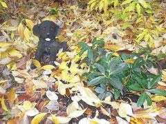 Ein kleiner schwarzer Plastik-Labrador-Welpe auf laubbedecktem Boden
