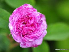 "Rosa gallica ""Conditorum"" - Konditor-Rose - Zuckerrose - Ungarische Rose - Tidbit-Rose - Rose de Hongrie - Rosa hungarica - Historische Rosen - Duftrose"