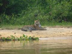 Jaguar du Pantanal
