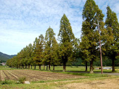 樹高12mほどのメタセコイアが続く県道287
