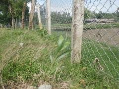 学校をぐるりと囲むフェンスに守られる苗