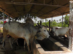 牛の世話は子どもたちが交代で行っています。