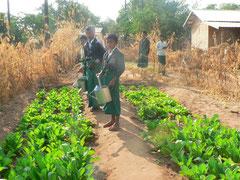 大根、白菜、レタス、カリフラワーを栽培中。