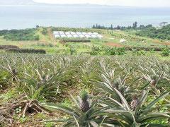 市内崎枝の石垣島サプライの関連農場、有機栽培のパインが収穫を待っている=22日