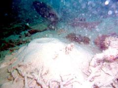 2010年7月、川平湾の海底。透明度はほとんどゼロで、堆積した赤土の中には穴じゃこが生きていたものの、それ以外は珊瑚の死体と奇形のクサビライシサンゴが存在しているのみだった。(写真撮影=辻維周)