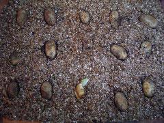 Eier im Brutsubstrat; einer schaut schon raus