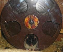 Hamster, Puschelhilfe, Nagerschutz, Curuba, Laufrad