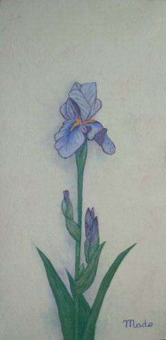 Iris bleu de MaDo