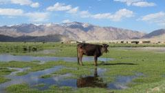 Kuh posiert vor Bulunkul