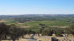 grüne Rebenteppiche im Barossa Valley