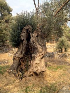Jeder Olivenbaum - ein Blick in unsere Geschichte.