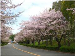 千里さくら通り(元千里中央筋) 桜並木の景観は市内でも有数の美しさ