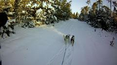 Im fluffigen Tiefschnee - die Doggies ackern!