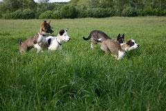 Vier Alaskan Huskies laufen über eine Wiese, Dogscooting