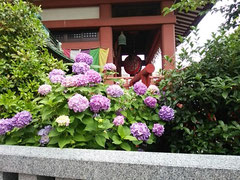 浦和 大善院 紫陽花
