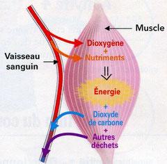 Fonctionnement d'un muscle. Bréal, 2006 p63.