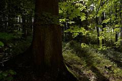 An einigen Stellen konnten Fichten mit einem Alter von etwa 150 Jahren bewundert werden, die sich im Stabmaier Forst zu beeindruckenden Exemplaren ausgewachsen haben.