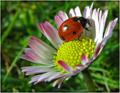 Glückskäfer auf Gänseblümchen