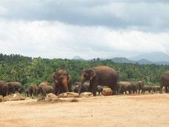 Pinnawela, Elefantenwaisenhaus