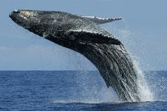 Wale vor der Südküste, Mirissa