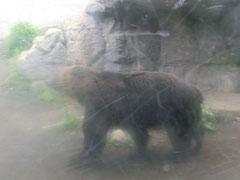 円山動物園のヒグマ