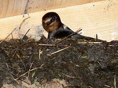 Rauchschwalbe auf Nest, Foto: R. Jürgens
