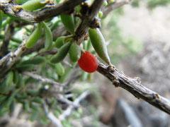 Frucht des Bocksdorn - Goji