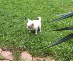 Chi-Love.de   Wie wird mein Welpe stubenrein?    Foto: Swiffer Chihuahua