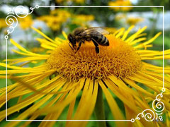 Biene auf Scheinalantblüte