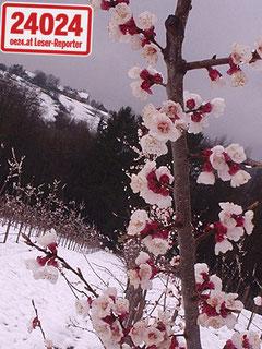 Marillenbaumblüte im Schnee 20.03 2007