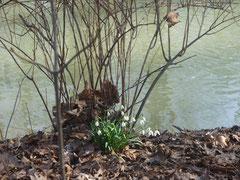 Schneeglöckchen im Englischen Garten