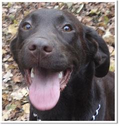 Labrador Junghund