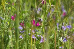Apfelblüte, Hamburg-Harburg ©
