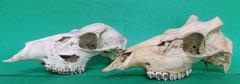 シカ(鹿):遺跡出土動物種別獣骨