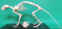ネコ(猫):遺跡出土動物種別獣骨
