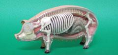 イノシシ(猪)・ブタ(豚):遺跡出土動物種別獣骨