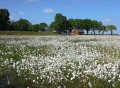 Moorlandschaft im Emsland: Wollgras im renaturierten Bargerveen. Foto: C. Schumann