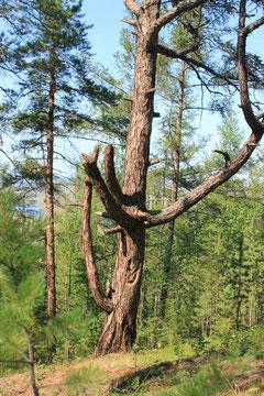 Табагинское дерево со старинной хойгуо-личиной
