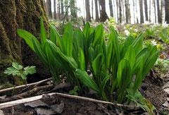 Черемша (alium ursinum)