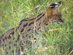 in2kenya serval safari kenya masai mara tsavo