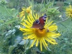 Ülepüle heißt Schmetterling