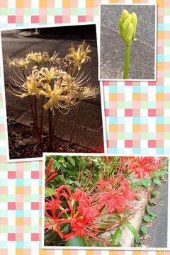 ☆紅白の彼岸花。蕾も見つけました。
